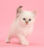 Colourpoint kitten standing on pink background