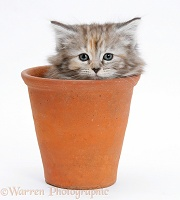 Maine Coon kitten in a terracotta flowerpot