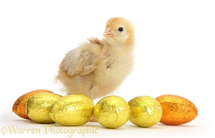 Yellow bantam chick with Easter eggs