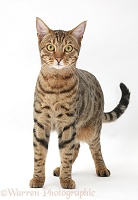 Bengal male cat standing