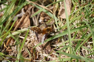 Bee Fly mating pair