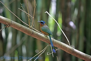 Blue crowned motmot on bamboo