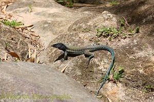 Common Ameiva Lizard (Ameiva ameiva) male