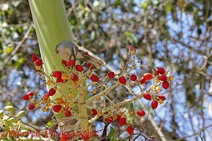 Tropical Mockingbird feeding on palm fruit