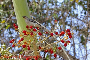 Tropical Mockingbird on palm fruit