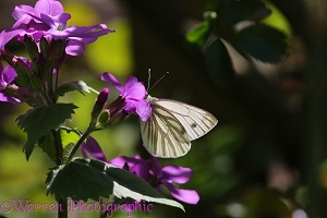 Green-veined White Butterfly feeding on Honesty