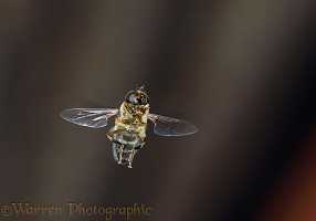 Hoverfly or Drone Fly hovering