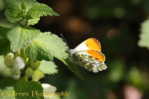 Orange-tip Butterfly sunning
