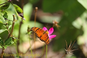 Silver-spotted Flambeau Butterfly or Gulf Fritillary