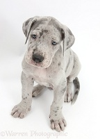 Great Dane puppy sitting and looking up