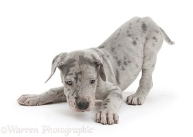 Great Dane puppy in play-bow stance