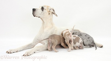 Great Dane mother with suckling pups