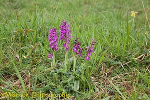 Early Purple Orchid on Cotswold downland