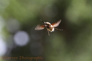 Bee fly hovering