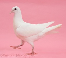 White dove walking on pink background