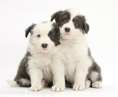 Two blue-and-white Border Collie pups