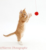 Ginger kitten grasping a toy