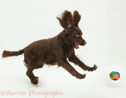 Chocolate Cocker Spaniel leaping for a ball