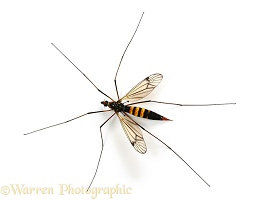 Yellow-and-black Cranefly