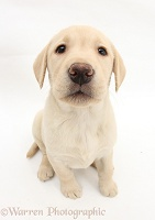 Yellow Labrador Retriever pup, 8 weeks old