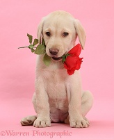 Yellow Labrador Retriever pup with red rose