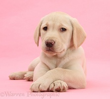 Yellow Labrador Retriever pup on pink background