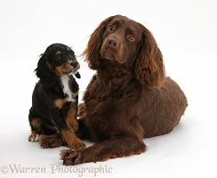 Chocolate working Cocker Spaniel and tricolour pup