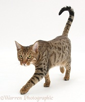 Bengal male cat stalking