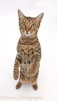 Bengal male cat standing up