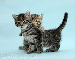 Two cute tabby kittens on blue background