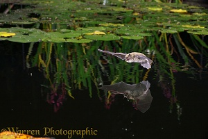 Pipistrelle bat flying over water