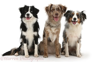 Three Miniature American Shepard dogs