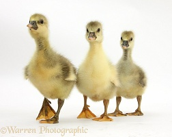 Three Embden x Greylag Goslings walking