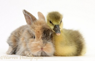 Cute Gosling and baby bunny