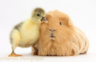 Cute Gosling and hairy Guinea pig