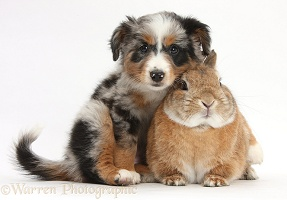 Mini American Shepard puppy and rabbit