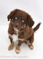 Chocolate blue-eyed Mini American Shepard puppy