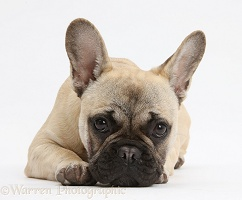 French Bulldog lying with chin on the floor