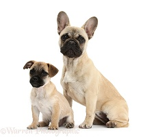 Jug puppy (Pug x Jack Russell) and French Bulldog