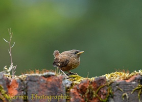 Fledgeling Wren on a brick wall