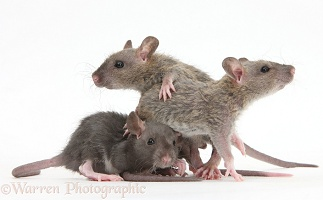 Three baby Rex rats