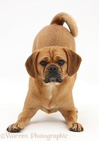 Puggle in play-bow