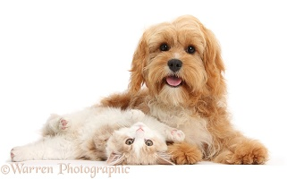 Ginger-and-white Siberian kitten and Cavapoo