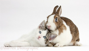 Blue-eyed tabby-and-white kitten and rabbit