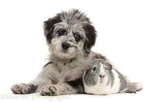 Blue merle Cadoodle puppy and Guinea pig