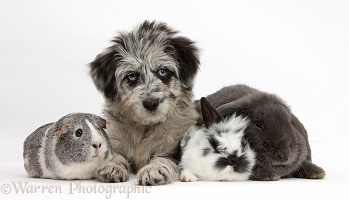 Blue merle Cadoodle puppy, Guinea pig and bunnies