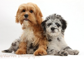 Blue merle Cadoodle puppy and Cavapoo