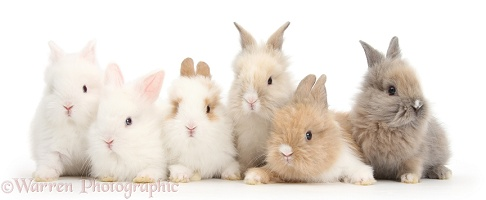Six cute baby Lionhead bunnies in a row