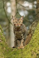 Bengal cat up a tree