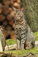 Bengal cat sitting on a fallen tree